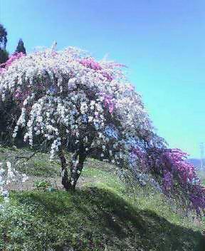 一本の木に2色の花